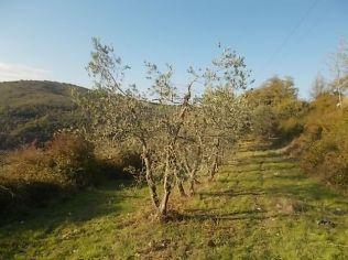 oliveta-di-vertine-potatura-olivi-a-ottobre-8