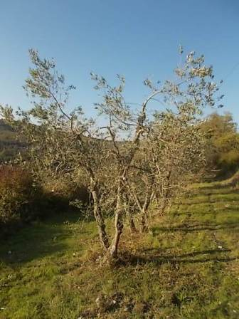 oliveta-di-vertine-potatura-olivi-a-ottobre-9