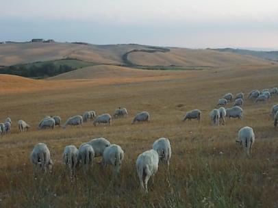 pecore-crete-senesi-2