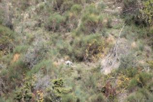 vertine battuta di caccia al fagiano (14)
