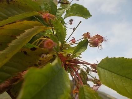 vertine ciliegio fiorito 30 ottobre 2017 (2)