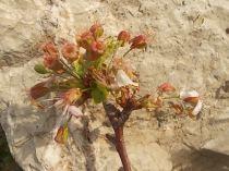 vertine ciliegio fiorito 30 ottobre 2017 (7)