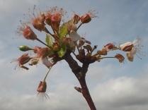 vertine ciliegio fiorito 30 ottobre 2017 (9)