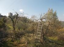 vertine ottobre 2017 potatura olivi (1)