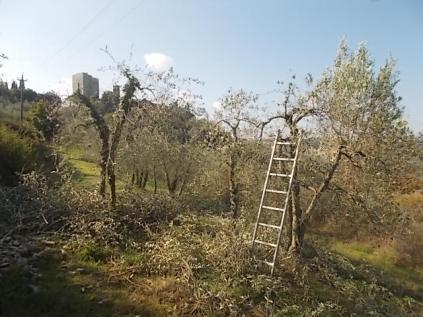 vertine ottobre 2017 potatura olivi (2)