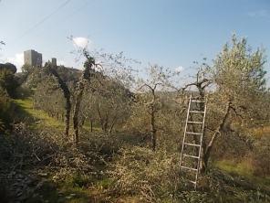 vertine ottobre 2017 potatura olivi (4)
