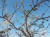 vertine susino in fiore 17 ottobre 2017 (1)