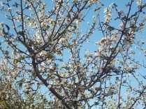 vertine susino in fiore 17 ottobre 2017 (3)