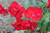 firenze, giardino delle rose, folon, (9)