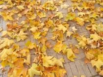 foglie di acero tappeto (1)