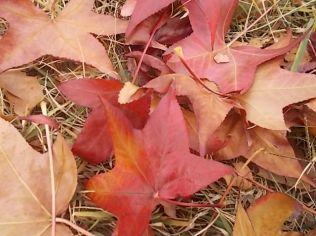 foglie di acero tappeto (13)