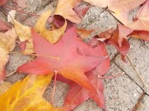 foglie di acero tappeto (18)
