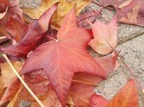 foglie di acero tappeto (19)