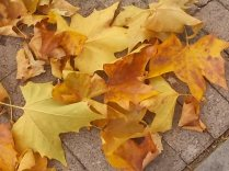 foglie di acero tappeto (2)