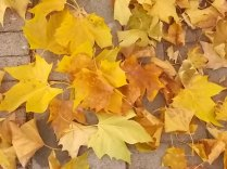 foglie di acero tappeto (4)