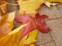 foglie di acero tappeto (8)