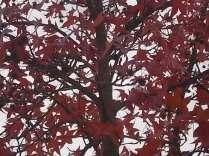 foglie di acero tappeto (9)
