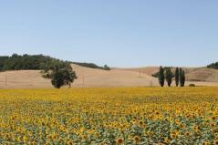 girasoli-della-berardenga-15