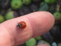vertine raccolta olive (1)