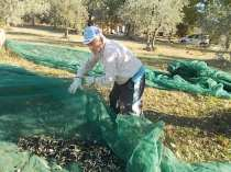 vertine raccolta olive 2017 (1)