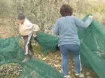 vertine raccolta olive 2017 (12)
