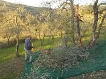 vertine raccolta olive 2017 (13)