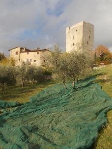 vertine raccolta olive 2017 (17)