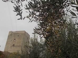 vertine raccolta olive 2017 (19)