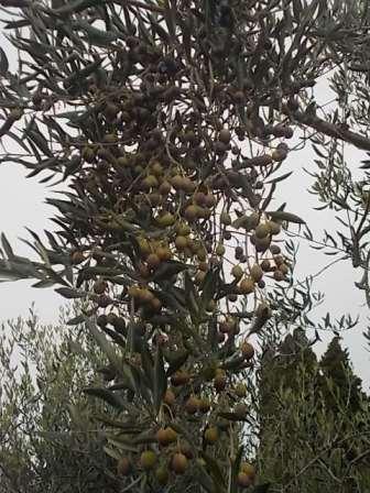 vertine raccolta olive 2017 (20)