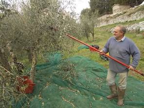 vertine raccolta olive 2017 (21)