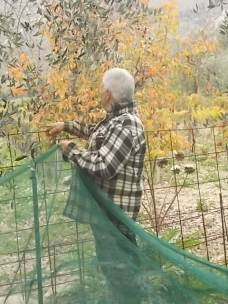 vertine raccolta olive 2017 (22)