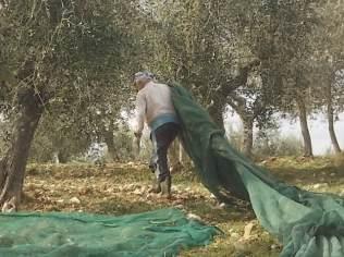 vertine raccolta olive 2017 (6)