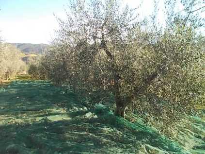 vertine raccolta olive 2017 (7)