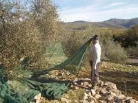 vertine raccolta olive 2017 (8)