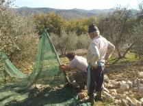 vertine raccolta olive 2017 (9)