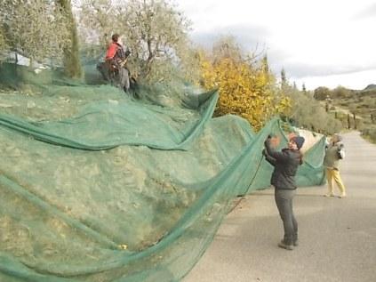 vertine raccolta olive 2017