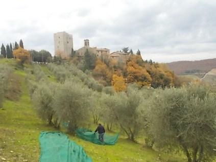 vertine raccolta olive (3)