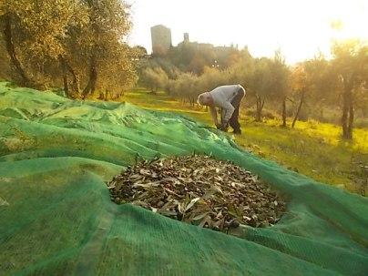 vertine raccolta olive