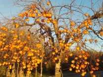 albero pomo caco (1)