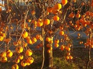 albero pomo caco (10)