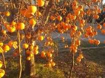 albero pomo caco (11)