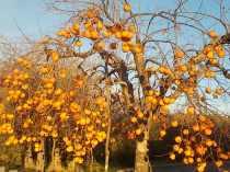 albero pomo caco (2)