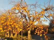 albero pomo caco (3)