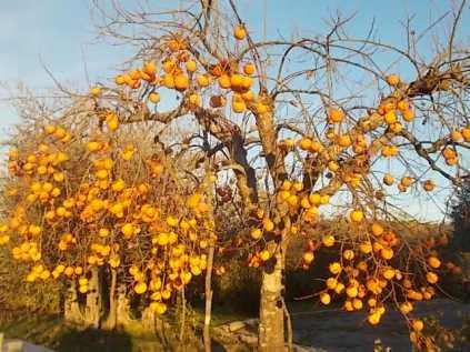 albero pomo caco (4)