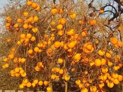 albero pomo caco (5)