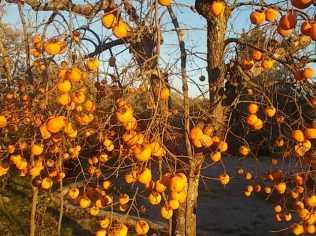albero pomo caco (7)