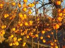 albero pomo caco (8)