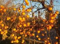 albero pomo caco (9)