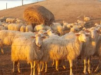 pecore, crete senesi, tramonto (1)
