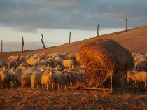 pecore, crete senesi, tramonto (10)